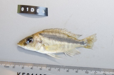 Mylochromis epichoralis