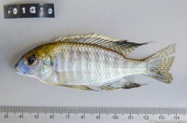 Tramitichromis sp.
