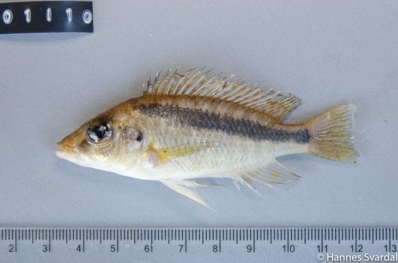 Maylochromis epichoralis