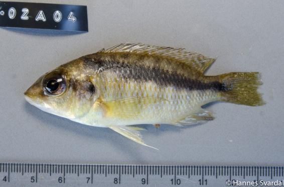 Mylochromis sp.