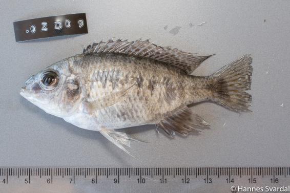 Protomelas taeniolotus