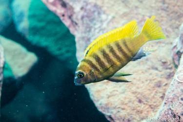 Maylandia zebra gold