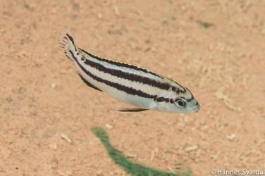 Melanochromis parallelus