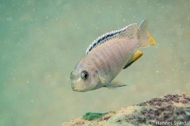 Tropheops red fin female
