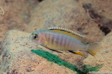 Tropheops red fin