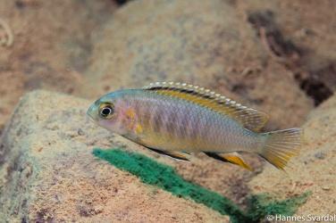 Tropheops red fin
